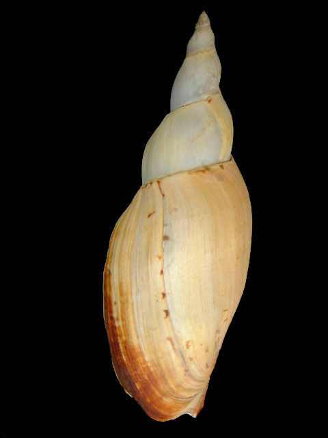 VOLUTIDAE ANCILLA ADELOMELON