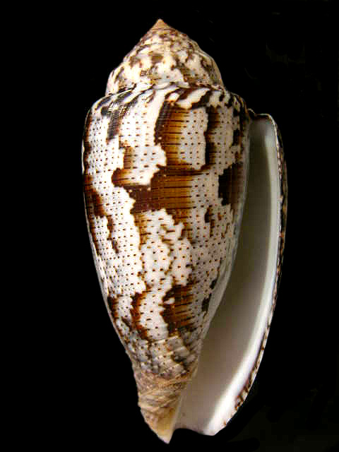 CONIDAE ACHATINUS PIONOCONUS