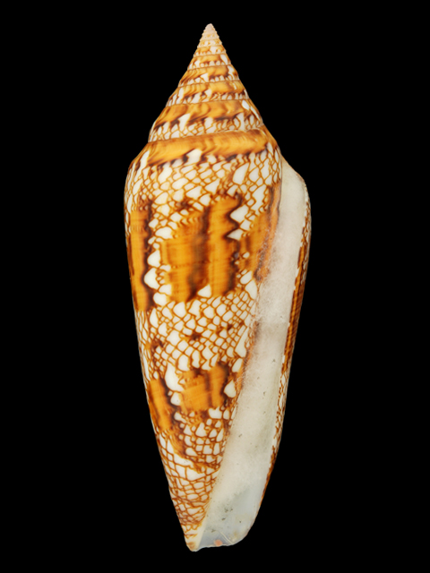 CONIDAE  CYLINDRUS BENGALENSIS