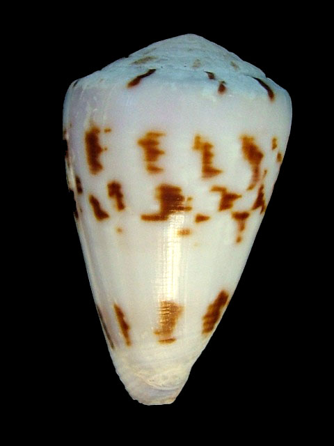 CONIDAE ATLANTICOSELVAGEM TROVAOCONUS