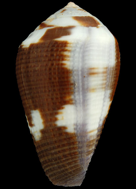 CONIDAE COFFEA LEPORICONUS