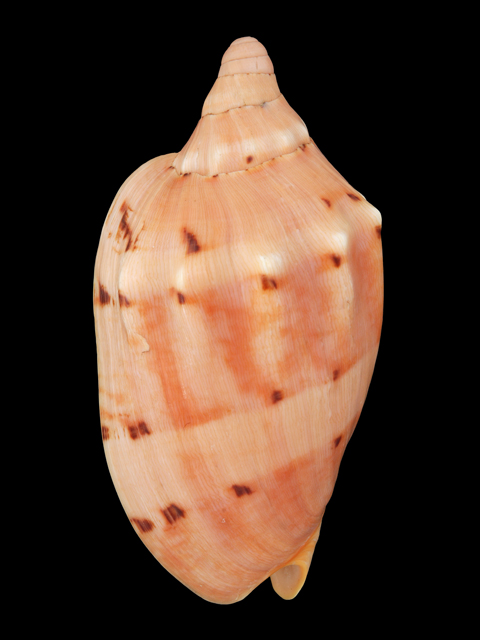 VOLUTIDAE AULICA MALAYENSIS CYMBIOLA