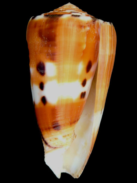 CONIDAE  PIONOCONUS BARTHELEMYI