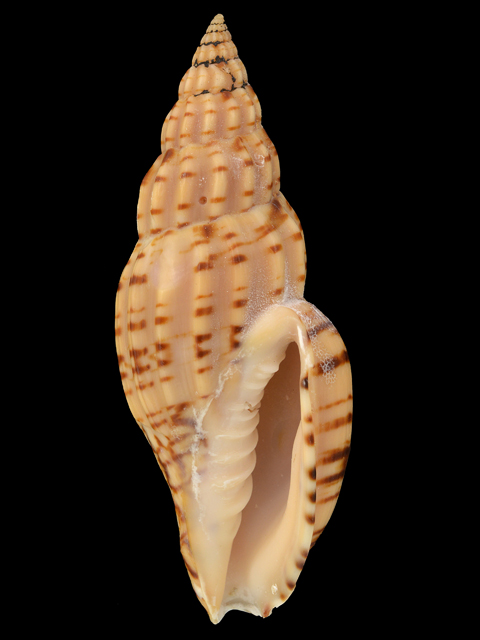 VOLUTIDAE  LYRIA BOHOLENSIS