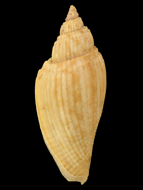 VOLUTIDAE BOSWELLAE DISPARILIS ATHLETA