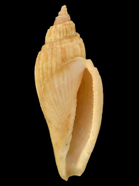 VOLUTIDAE  ATHLETA BOSWELLAE DISPARILIS