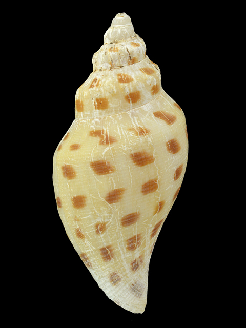 VOLUTIDAE ROBUSTA WORKI SCAPHELLA