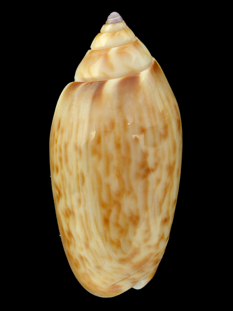 top shells from shellspassion
